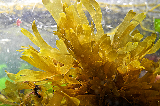 seaweed ie information on marine algae
