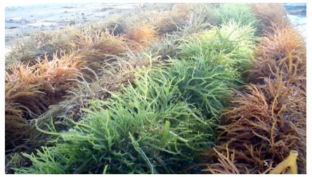 Seaweed ie :: Eucheuma cultivation