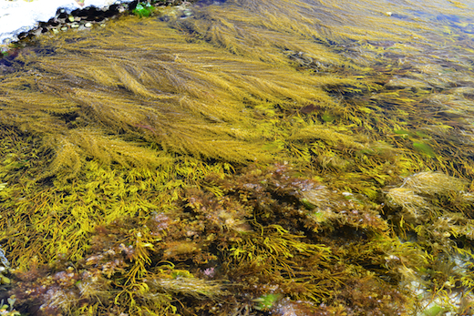 Sargassum muticum competing with Bifurcaria bifurcata in pools
