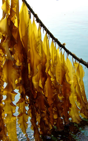 Seaweed cultivation in Ireland
