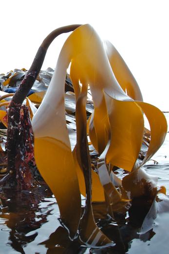 Seaweed Ie Information On Marine Algae