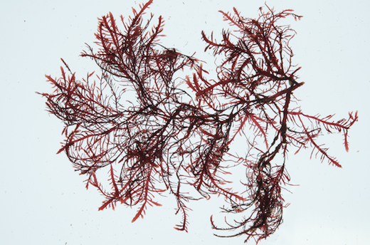Seaweed Ie Gelidium Spinosum