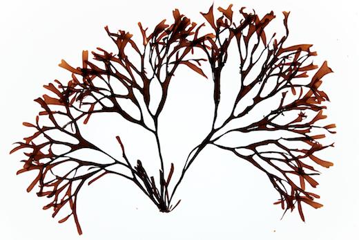 Mastocarpus Stellatus Stackhouse Guiry