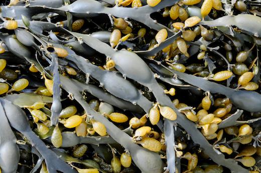 Seaweed ie :: Information on marine algae
