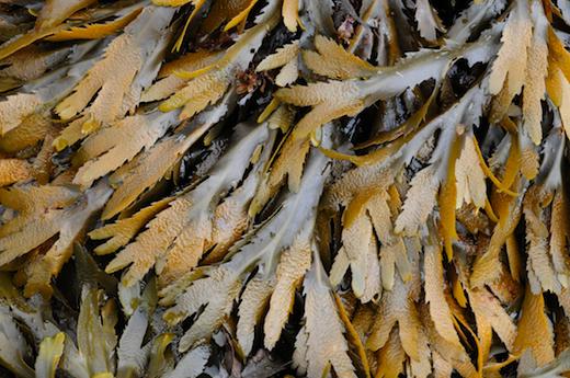 Seaweed.ie :: Fucus se...
