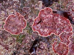 Phymatolithon purpureum